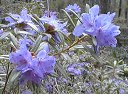 Rhododendron hippophaeoides /C1